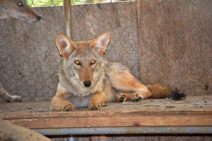 coyote recuperándose