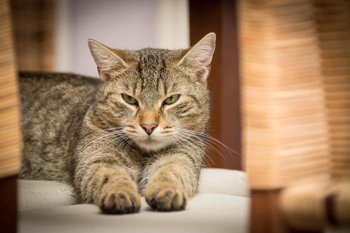 gato doméstico nombre para gato macho