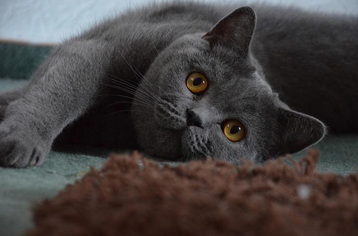 nombres para gato macho, gato gris