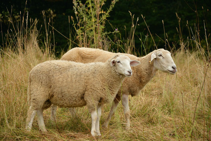 oveja, animales rumiantes