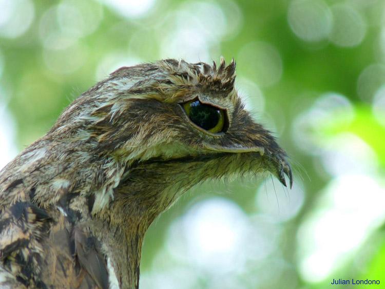 pájaro fanstasma