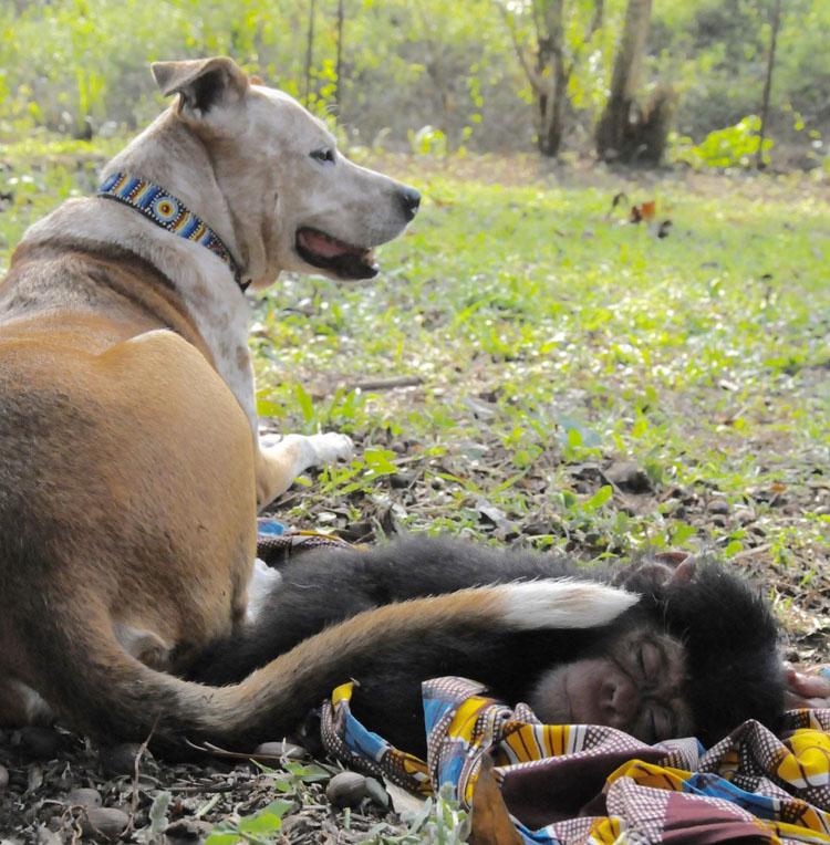perra solidaria con chimpancé