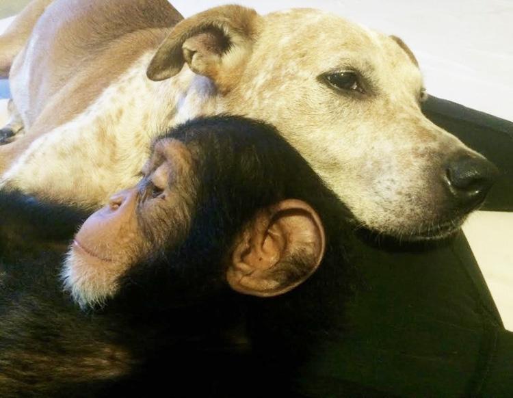 perra y chimpancé
