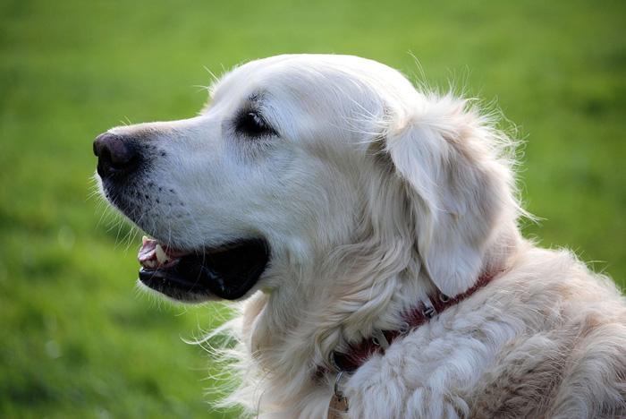 perro, enfermedad del gusano del corazón