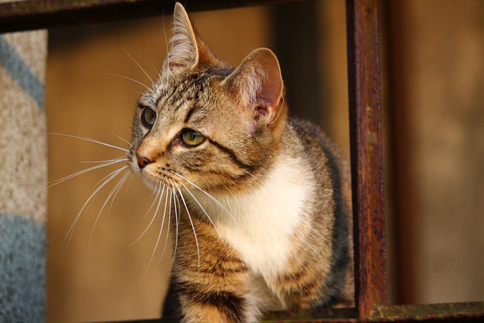 sarna en gatos, gatos