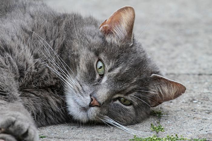 sarna en gatos