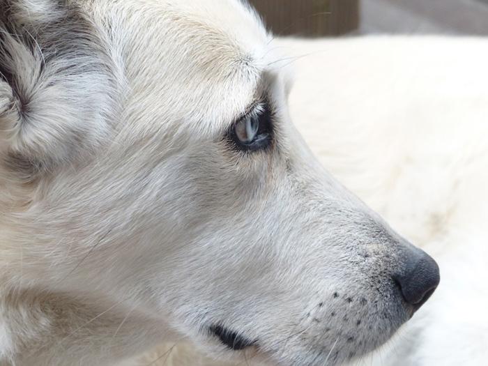 Existen diferentes tipos de sarna en perros