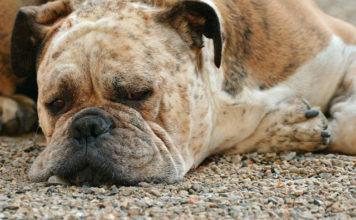 ¿Cómo evitar el sobrepeso en los perros?