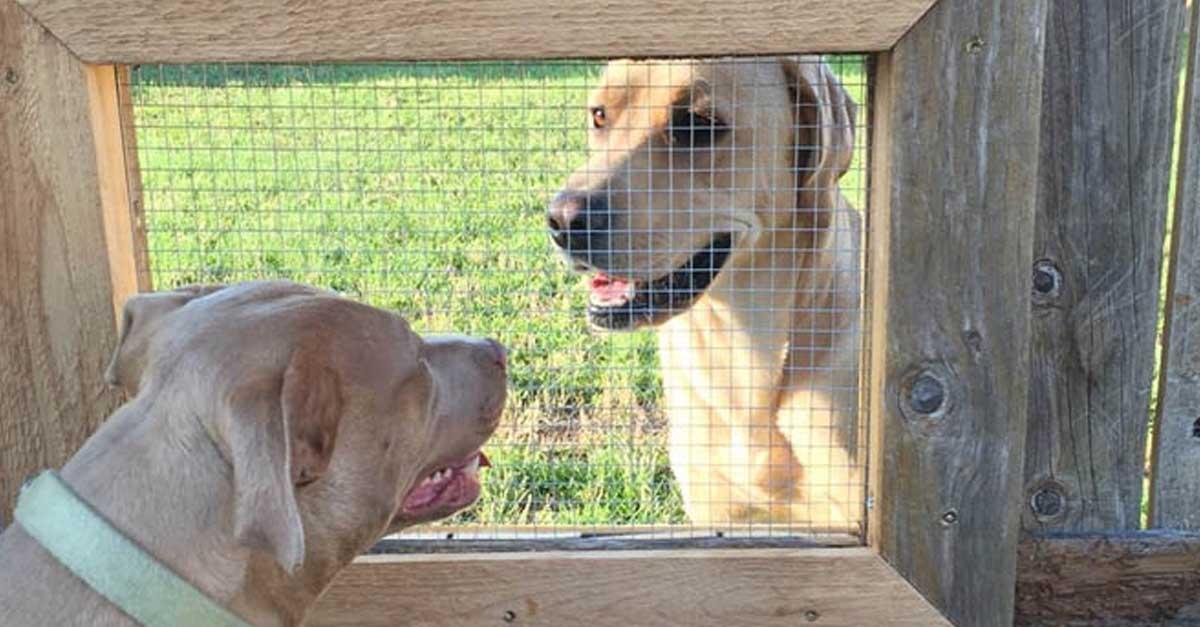 Construyó una ventana en la cerca para que sus perros interactúen