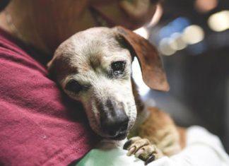 Esta perra invidente de 18 años fue abandonada en un refugio y se aferró amorosamente a la primer persona que la visitó