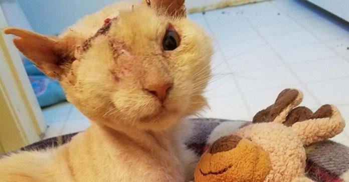 Le echaron ácido en la cara a este gato amigable