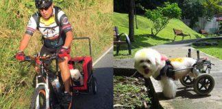 Lucho poodle en silla de ruedas es feliz