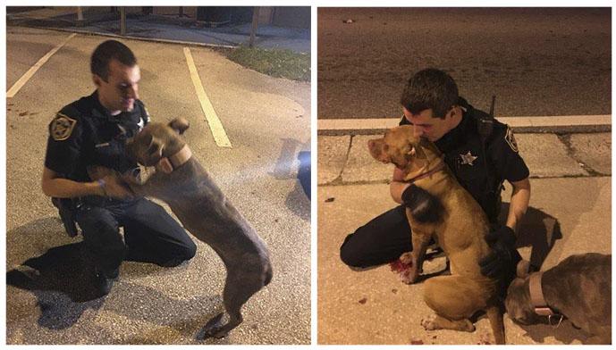 Oficiales reconfortan pit bulls heridos y abandonados