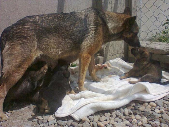 Perra alimenta a sus cachorros