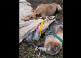 Perro acompañó a su amigo hasta el final