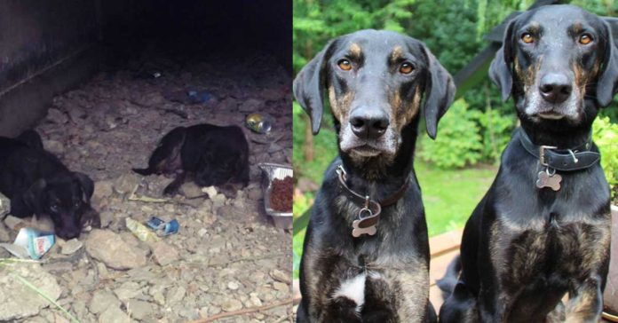 Perros crecieron juntos y se volvieron completamente inseparables