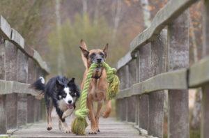 Los juguetes de tiro son aquellos que tienen estilo de cuerda o de soga en donde tu perro Perros jugandodeberá halar de un extremo y tú del otro