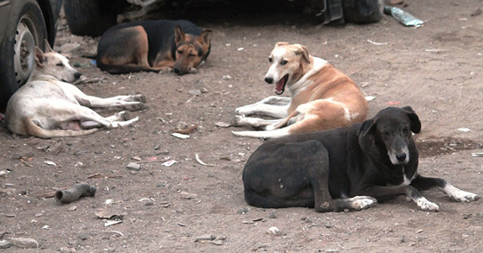 Perros sin hogar en la India