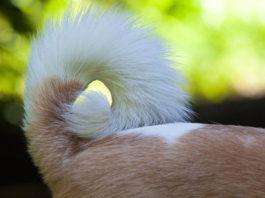¿Por qué no debes cortar orejas y cola a tu perro?