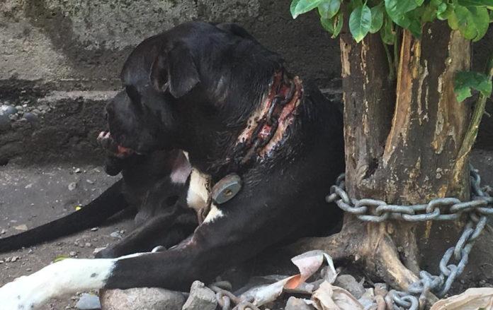 Titán perro encadenado es rescatado