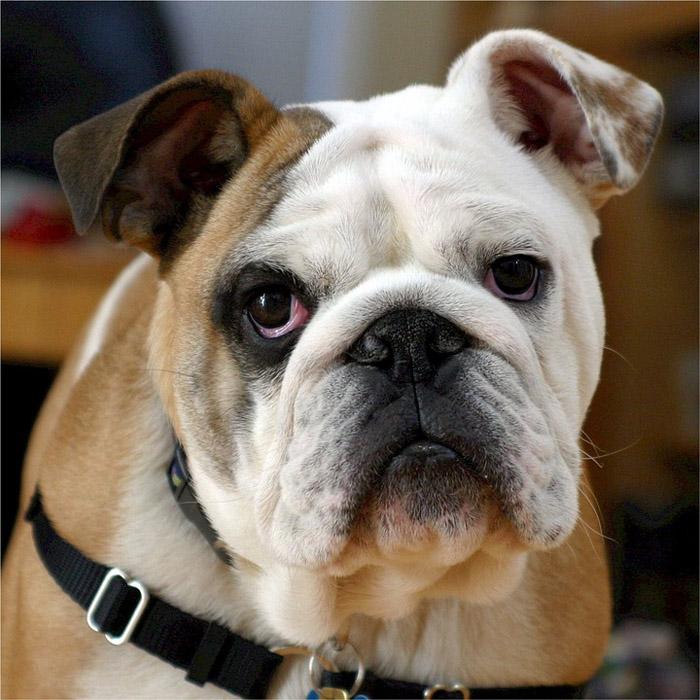 Tipo de bulldog inglés