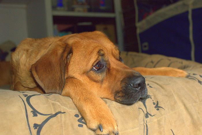 El sobrepeso en los perros es provocado en la mayoría de los casos por una vida sedentaria