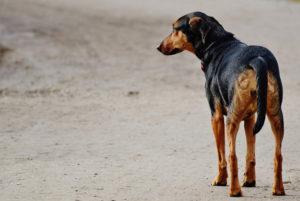 El celo es una de las causas más comunes por las que los perros se pierden