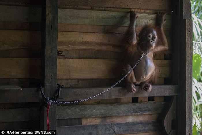 Bonika, Orangután