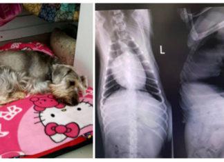 Dejó a su perra en la veterinaria y la entregaron con las costillas rotas