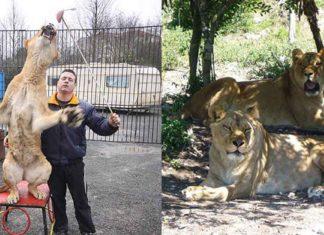 Leonas explotadas en un circo fueron rescatadas