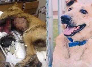 Este perro fue cubierto con asfalto caliente y estuvo a punto de morir