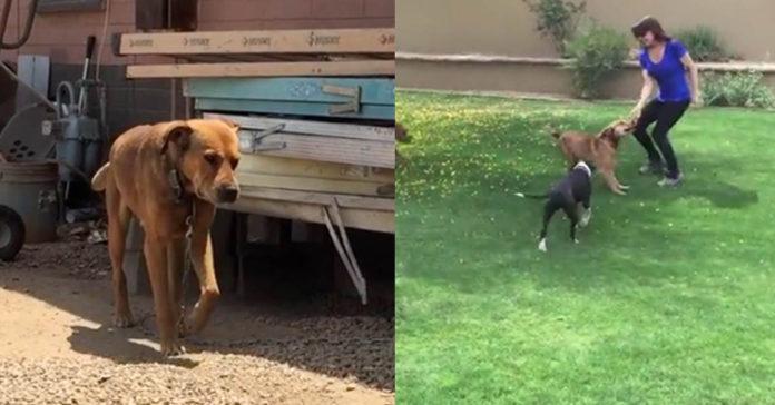 Este perro fue liberado tras pasar más de 10 años de su vida encadenado