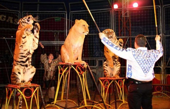 Felinos de circo