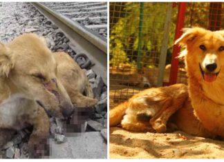 Las patas de un perro fueron aplastadas por un tren