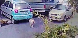 Médico atropelló a una perra intencionalmente y por desgracia ella falleció