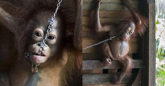 Orangután bebé encadenada fue rescatada