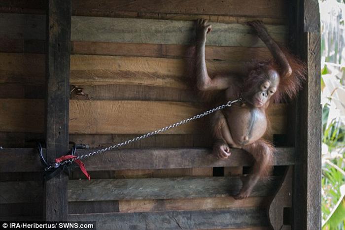 Orangután encadenada