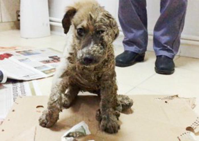 Pascal, el perro cubierto con pegamento