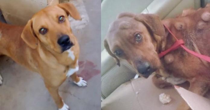 Perro con tumores cancerosos tuvo una maravillosa recuperación