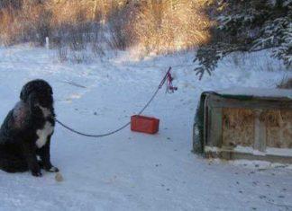 Perro estuvo encadenado cuatro años y soportó temperaturas bajo cero