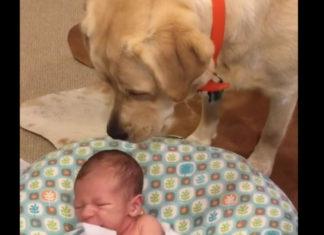 Perro hace lo posible para que el bebé deje de llorar