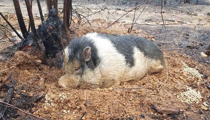 Cerdo sobrevivió a un incendio forestal