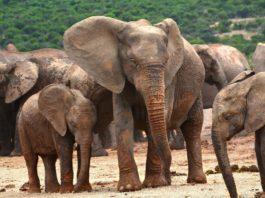 Elefantes africanos están naciendo sin colmillos
