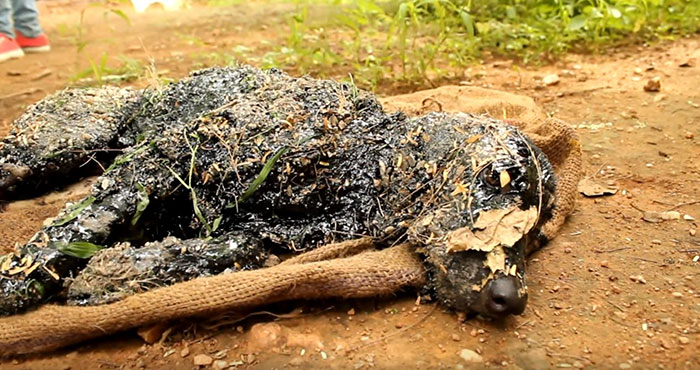 Este perro cayó en asfalto caliente