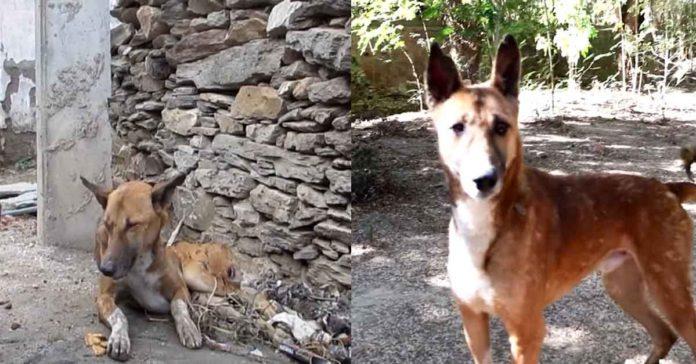 Este perro no podía moverse, pero su recuperación ha sido increíble