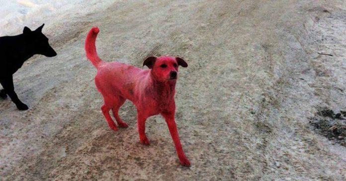 Este perro fue teñido de color rosa y la policía busca a los responsables