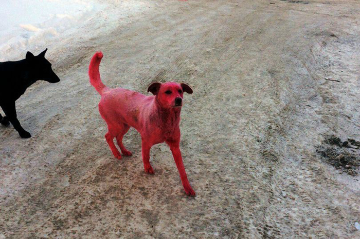 Este perro fue teñido de color rosa