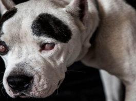 Este perro invidente era utilizado como un bufón para los perros de pelea