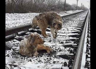 Este perro salvó a su compañera de morir aplastada por el tren