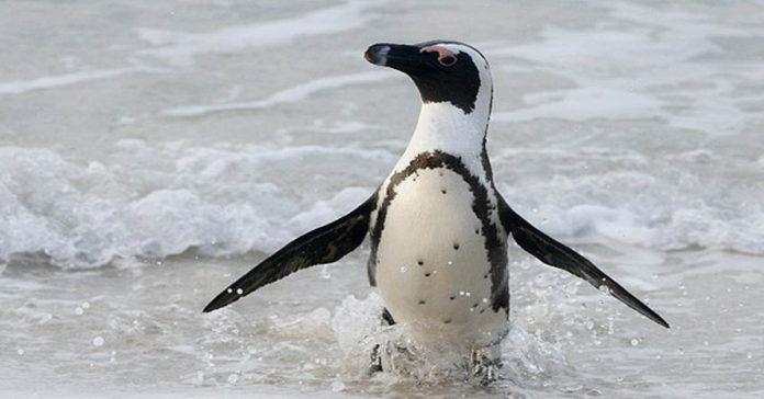 Este profesor británico y un pingüino se hicieron los mejores amigos